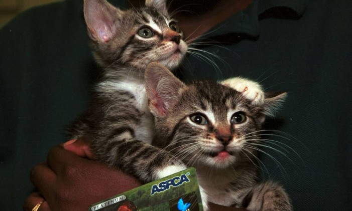Gatinhos com cartão da Sociedade Americana de Prevenção à Crueldade Foto: Brian Killigrew / Bloomberg News