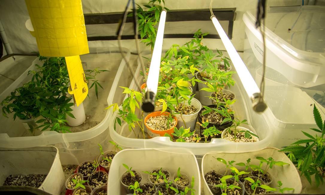 Cultivo doméstico da planta ocupa um quarto de cerca de oito metros quadrados de um apartamento na Baixada Fluminense Foto: Matias Maxx