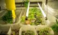Cultivo doméstico da planta ocupa um quarto de cerca de oito metros quadrados de um apartamento na Baixada Fluminense
