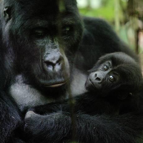 Gorilas foram os transmissores de duas linhagens do vírus HIV-1 Foto: Schalk van Zuydam