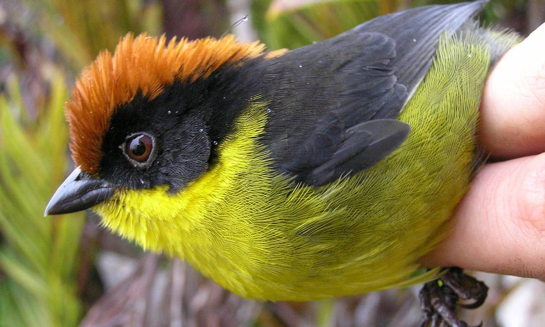 Um tentilhão, tipo de pássaro cuja aparência variável inspirou em Darwin a ideia de seleção natural de mutações adaptativas: novo estudo indica que tempo de isolamento é que leva uma espécie a se diferenciar de fato Foto: Reuters/ProAves