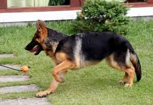 Pastor alemão: cão da raça foi usado em pesquisa de universidade americana sobre diagnóstico de câncer Foto: 19/02/2010 / Letícia Pontual