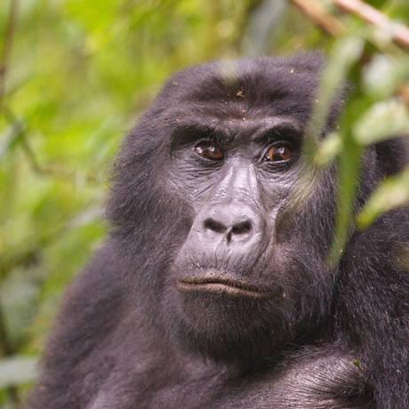 Gorila em trilha de Uganda Foto: Eduardo Campos / Agência O Globo