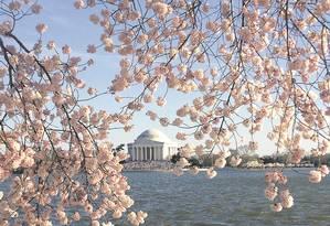 As cerejeiras às margens do Tidal Basin, com o Jefferson Memorial ao fundo Foto: Flávia Barbosa