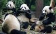 Pouco se sabe sobre o comportamento dos pandas na vida silvestre; novo estudo monitorou cinco animais por dois anos e concluiu que eles interagem mais do que se pensava