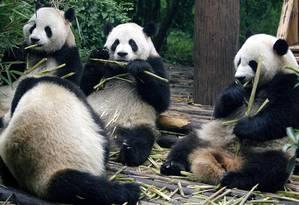 Pouco se sabe sobre o comportamento dos pandas na vida silvestre; novo estudo monitorou cinco animais por dois anos e concluiu que eles interagem mais do que se pensava Foto: Liu Jin/AFP