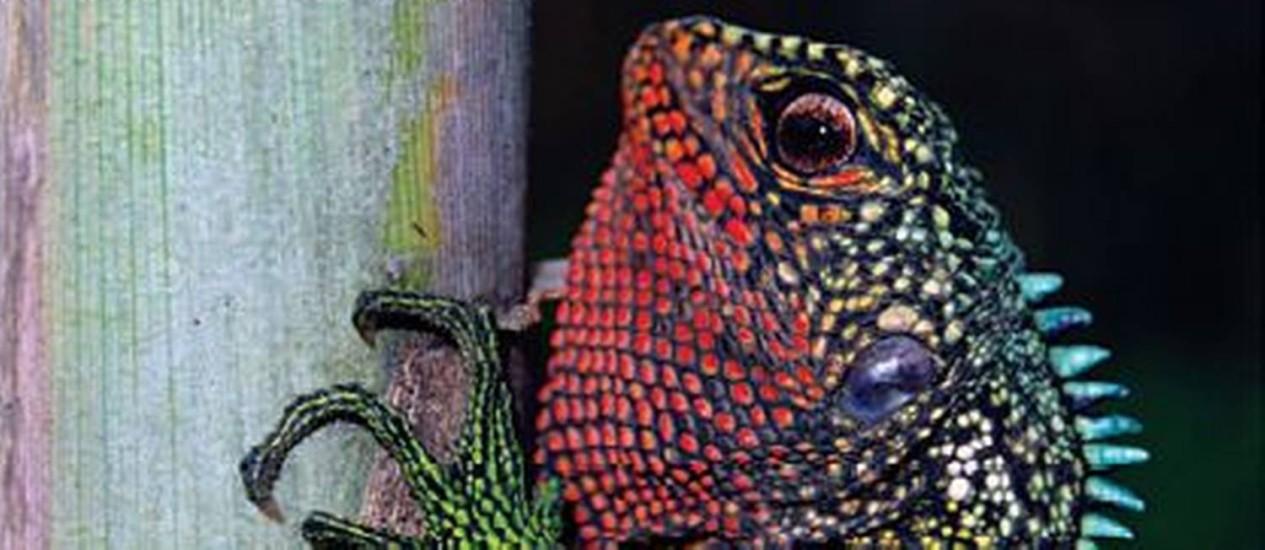 Enyalioides rubrigularis, um dos lagartos da família dos três recém-descobertos Foto: WikiCommons