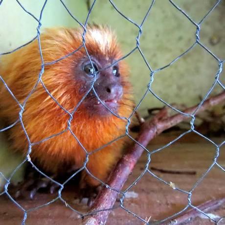 O mico-leão foi resgatado numa casa de família em Cabo Frio Foto: Divulgação