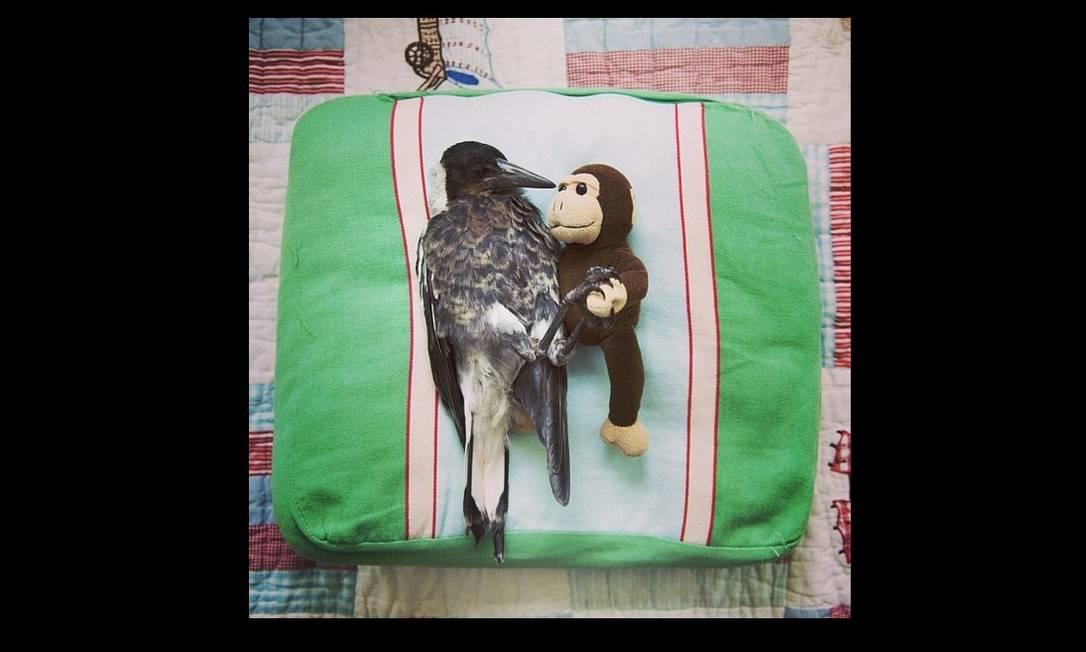 O pássaro da espécie pega é criado como um membro da família Reprodução/Instagram