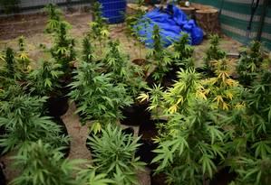 Plantação legal de cannabis, em Santiago, realiza primeira colheita em 7 de abril de 2015 Foto: MARTIN BERNETTI / AFP