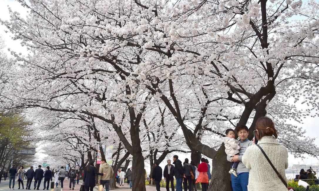 Em Seul, na vizinha Coréia do Sul, as cerejeiras também arrastam multidões para os parques no começo da primavera. Foto: JUNG YEON-JE / AFP