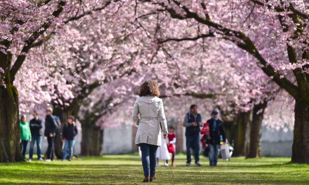 Um verdadeiro túnel de cerejeiras floridas se formou no parque Schlossgarten, na cidade alemã de Schwetzingen. Foto: Uwe Anspach / AP