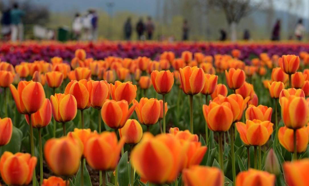 Parece Holanda, mas é Índia: durante a primavera, um jardim de tulipas vira atração turística em Srinagar. Segundo as autoridades locais, há mais de 1,2 milhão de bulbos no maior jardim da Ásia, de mais de 12 hectares. Foto: TAUSEEF MUSTAFA / AFP