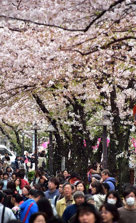 No Japão, aliás, a floração das cerejeiras é um dos eventos mais esperados do ano. Em Tóquio, milhares de pessoas vão aos parques para ver de perto as flores clarinhas. Foto: YOSHIKAZU TSUNO / AFP