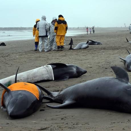 Golfinhos encalhados encontrados na cidade de Hokota, em Tóquio Foto: TOSHIFUMI KITAMURA / AFP