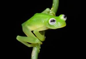 A Hyalinobatrachium dianae tem o corpo esverdeado, olhos esbugalhados e pupilas na horizontal Foto: Divulgação