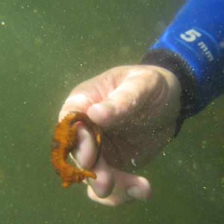Como forma de defesa, o animal fica paralisado ao ser tocado. Foto: Guardiões do Mar / Divulgação