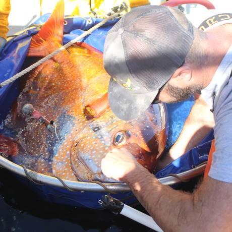 Pesquisador se prepara para libertar um peixe-cravo com um monitor de temperatura: animal é o único conhecido de sua classe que consegue manter o corpo aquecido nas frias profundezas dos oceanos Foto: NOAA Fisheries/Southwest Fisheries Science Center]