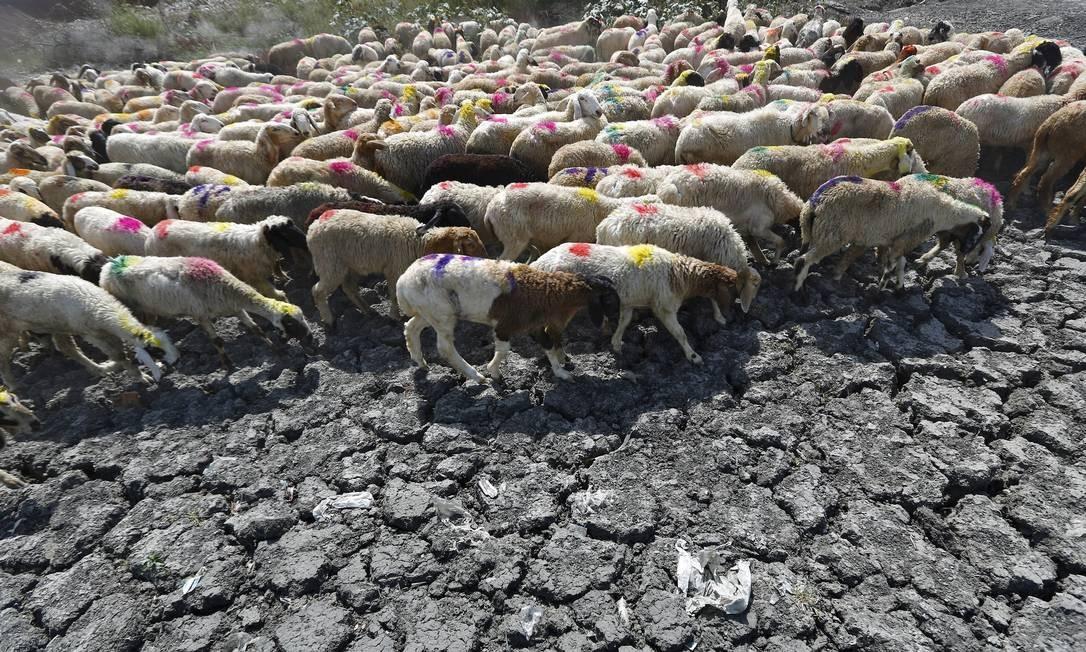 Cabras buscam alimento na terra seca Foto: ANINDITO MUKHERJEE / REUTERS