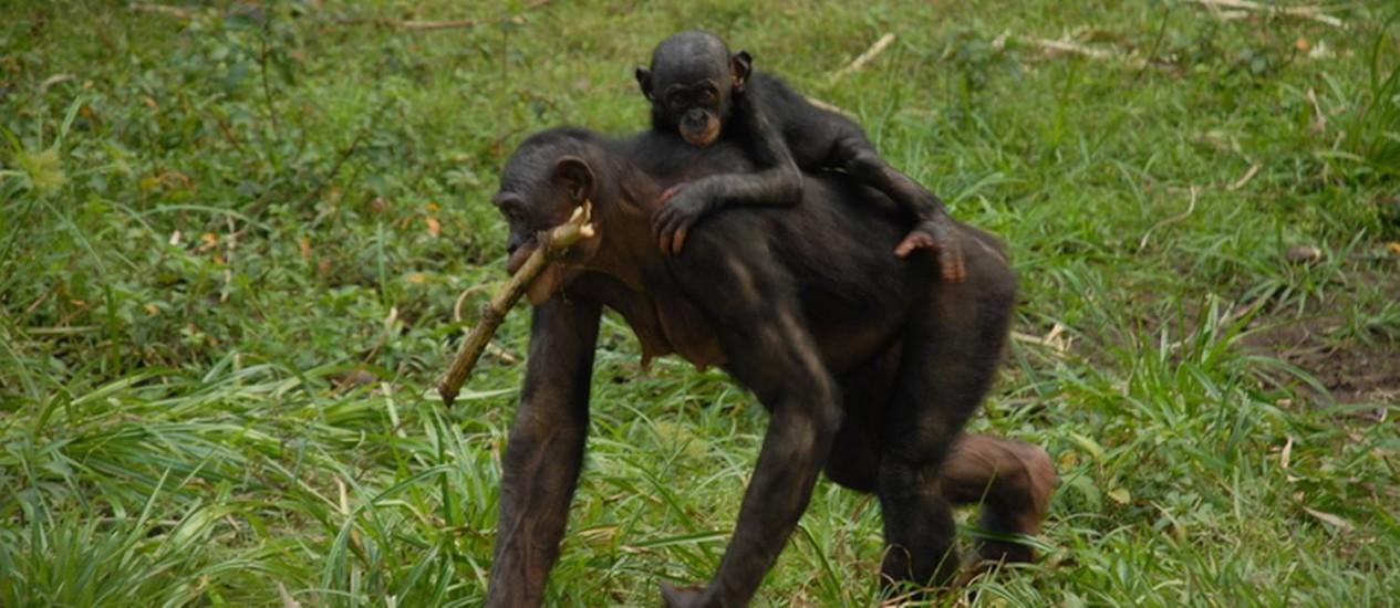 Uma fêmea de bonobo carregando seu filhote: capacidade de acumular gordura corporal é bem maior nos humanos Foto: Pierre Fidenci/Wikimedia Commons