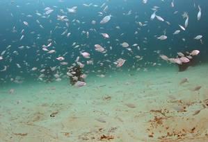 Berçário de marimbás em Ipanema: aquecimento das águas tropicais podem transformar a costa brasileira em um 'deserto' Foto: Divulgação/Ricardo Gomes