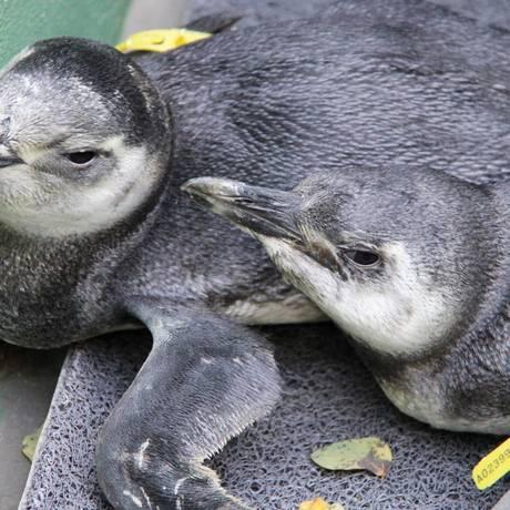 Pinguins resgatados pela Ong Gremar no litoral paulista Foto: Roberto Sander Jr. / Prefeitura do Guarujá