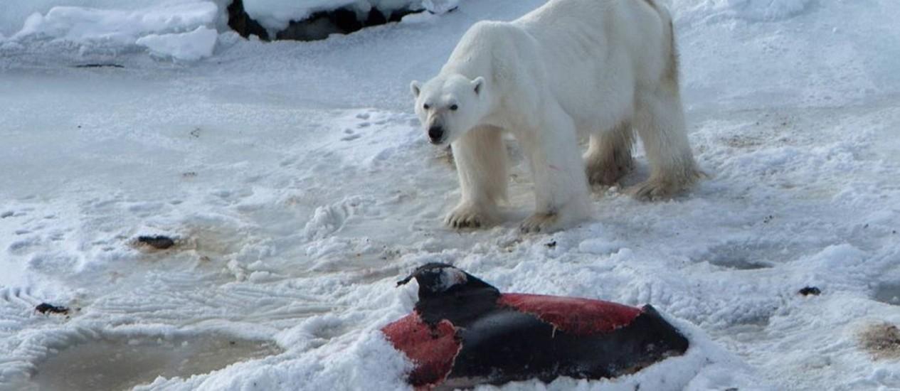 Depois de comer, urso cobre a carcaça do golfinho para guardar para depois: pesquisadores acreditam que os ursos polares enfrentam escassez de alimentos no Ártico Foto: JON AARS/NORWEGIAN POLAR INSTITUTE