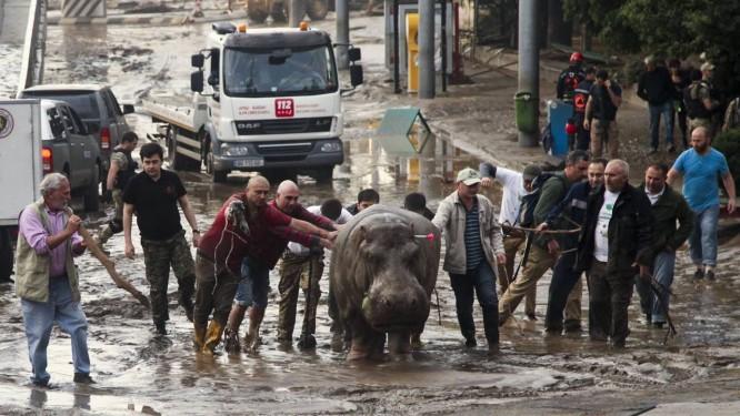 Homens tentam remover hipopótamo de rua alagada Foto: Tinatin Kiguradze/AP
