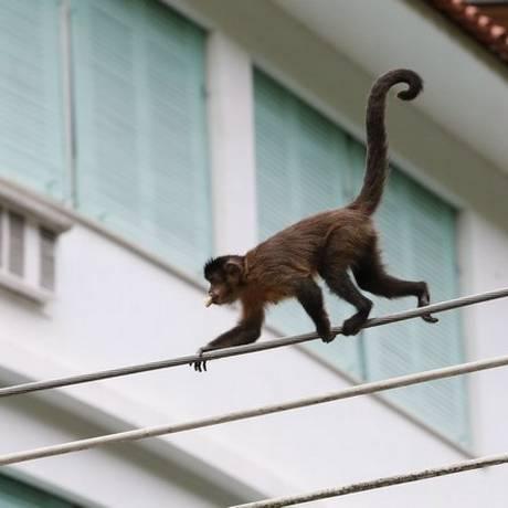 Macaco-prego anda pela fiação no Jardim Botânico: flagrante no Rio Foto: Ivo Gonzalez / Agência O Globo (13/11/2013)