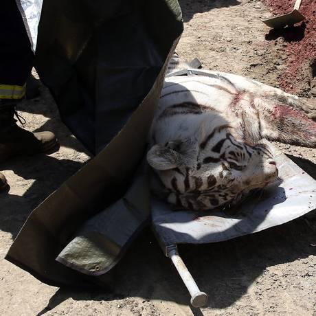 Um tigre branco morto é visto em uma maca emTbilisi Foto: AFP