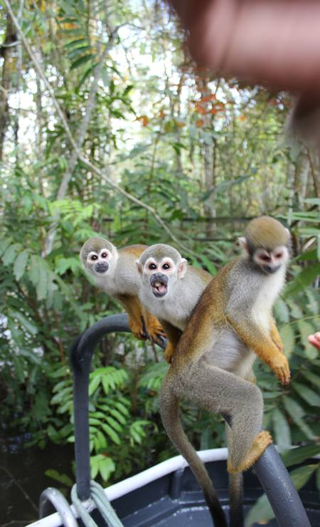 Macacos de cheiro: dentro da lancha, esperando comida Foto: Léa Cristina / Agência O Globo