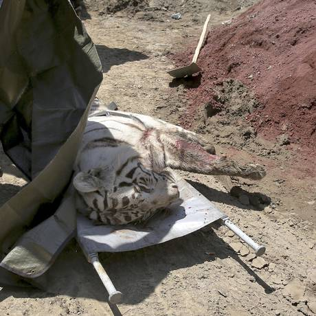 Tigre que fugiu de zoológico inundando, em Georgia, é morto pela polícia após atacar um homem. Outro tigre pode estar à solta Foto: AP
