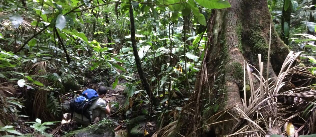 Jequitibá na Floresta da Tijuca: resistência ao tempo Foto: Ana Lúcia Azevedo / Agência O Globo