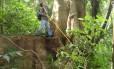 Jequitibá na Floresta da Tijuca