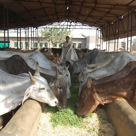Refúgio para bovinos, na Índia, trata os animais como 'parte da família' Foto: Reprodução/Shree Gopala Gaushala