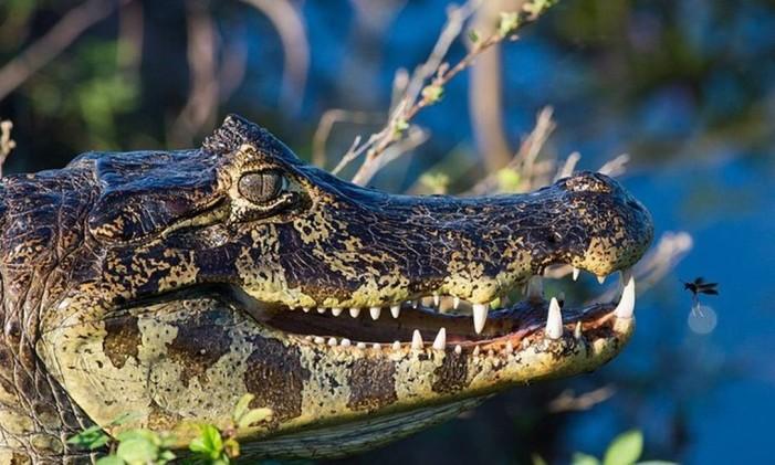 Jacaré no Pantanal, no Mato Grosso Foto: @higordepadua / Instragram