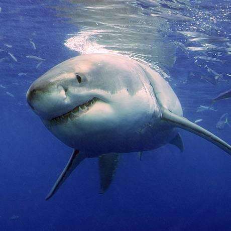 Quarto ataque de tubarão é registrado na Carolina do Norte, em poucas semanas Foto: Neil Hammerschlag / AP