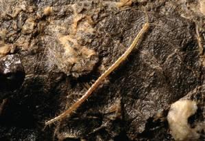 Geophilus hadesi: com mandíbulas poderosas que ostentam glândulas de veneno e garras curvas longas, esta centopeia está entre os principais predadores que rastejam na escuridão da caverna Foto: Divulgação/ J. Bedek