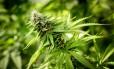 Planta de maconha cresce na estufa Minnesota Medical Solutions em Otsego, nos EUA: cannabis é tema de seminário promovido pela Fiocruz