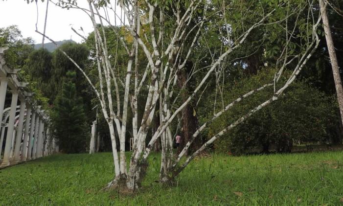 Quassia amara, plantada em 1811 pelo agrônomo Paul Germain Foto: Claudio Nicoletti