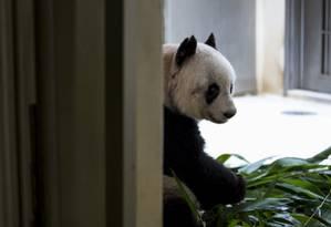 Idosa. Jia Jia completará 37 anos Foto: TYRONE SIU/REUTERS