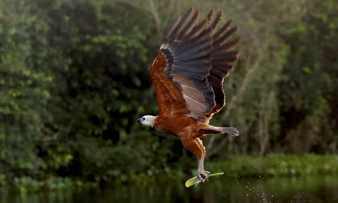 Ave da regiao sobrevoa rio no Pantanal Mato-grossense Foto: Marcelo Piu / Agência O Globo