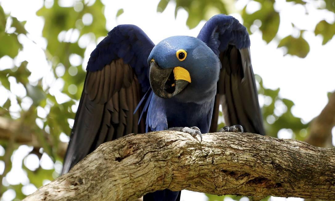 Em toda parte pelo Pantanal Mato-grossense, as belas Araras-Azuis. Foto: Marcelo Piu / Agência O Globo