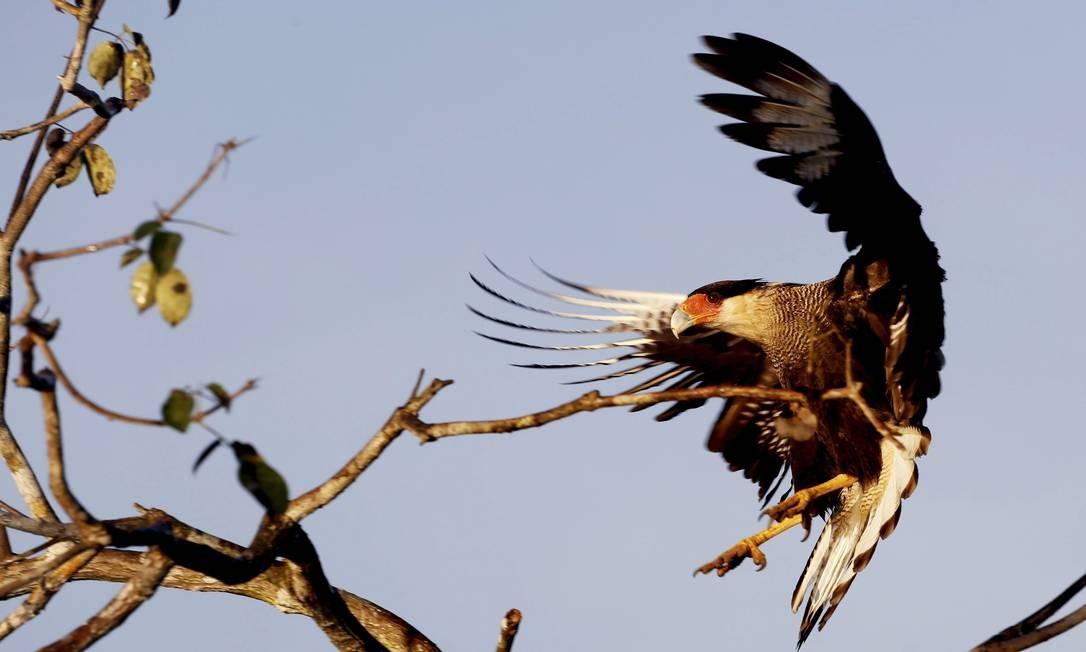 Uma das muitas espécies de aves do Pantanal Foto: Marcelo Piu / Agência O Globo