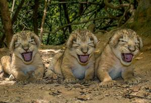 Imagem divulgada nesta quinta-feira pelo parque indiano de Gir mostra quatro dos 11 filhotes de leão asiático nascidos em 5 de julho na área de Khutani do santuário, na região de Junagadh de Gujarat Foto: AFP/ Parque Nacional e Santuário Gir