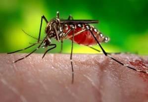 Imagem de uma fêmea de 'Aedes aegypt' se alimentando de sangue humano: estratégia tripla de ataque torna quase impossível escapar por completo de suas picadas Foto: James Gathany/CDC