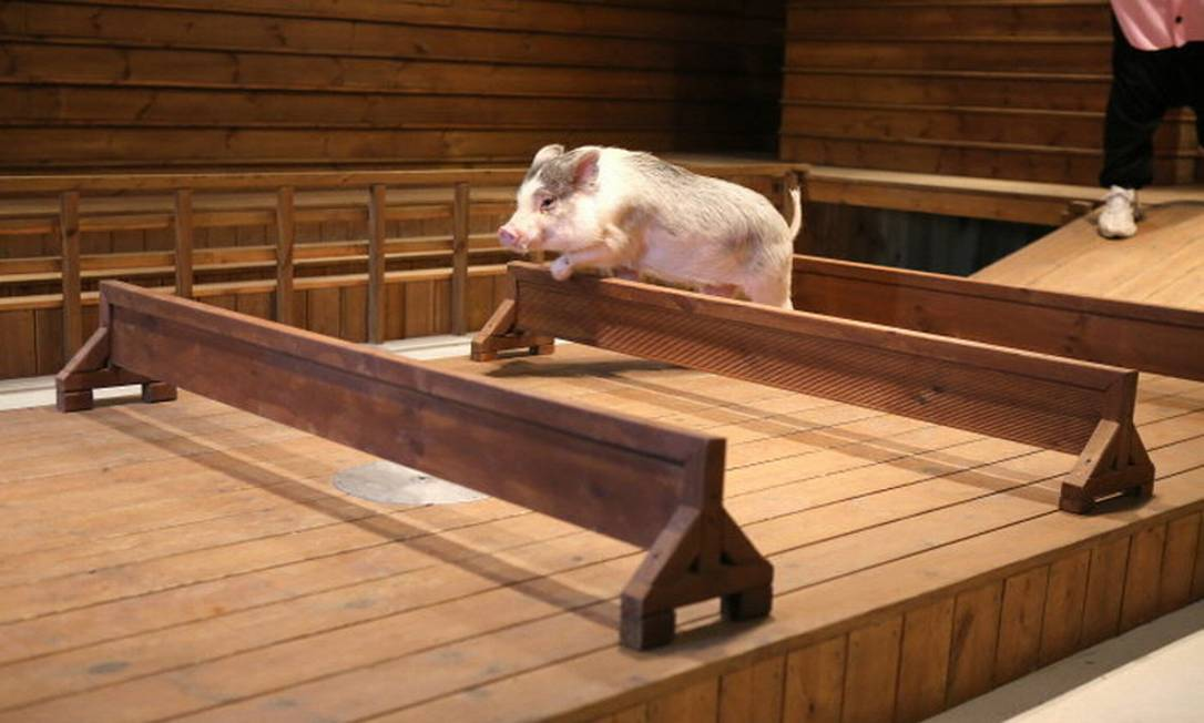 Os fãs de animais, mais especificamente de porcos, não podem perder a visita ao Pig Museum, onde o bichinho é a estrela principal Reprodução