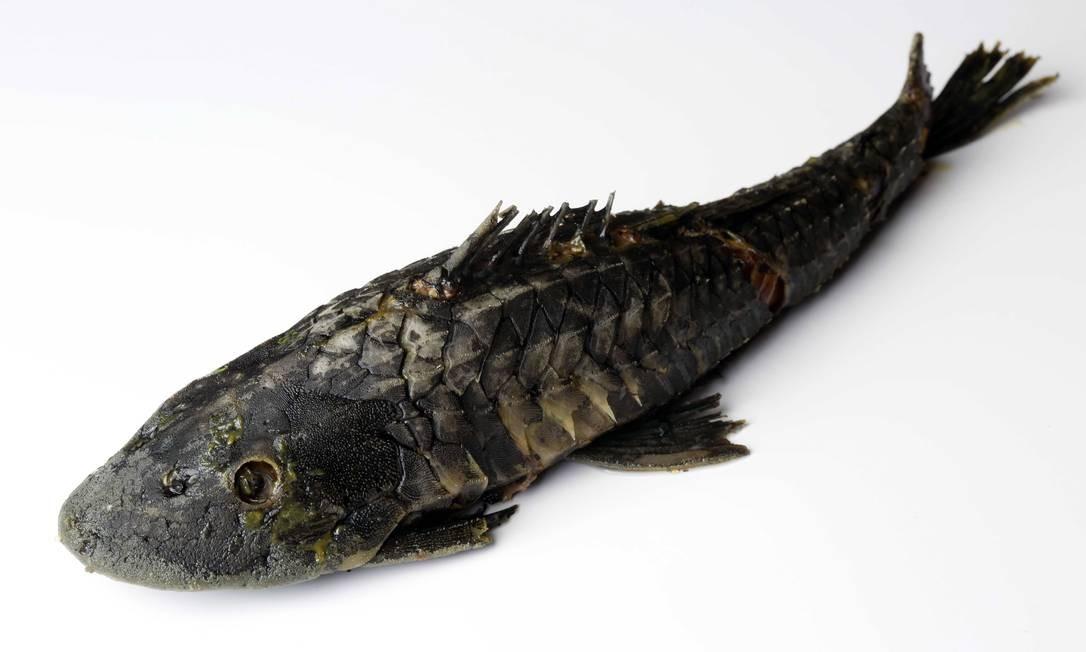 O peixe bodó, feio e cascudo por fora e rosado e macio por dentro, aparece em receitas tradicionais, como as servidas no Estória de Pescador Ana Branco / Agência O Globo