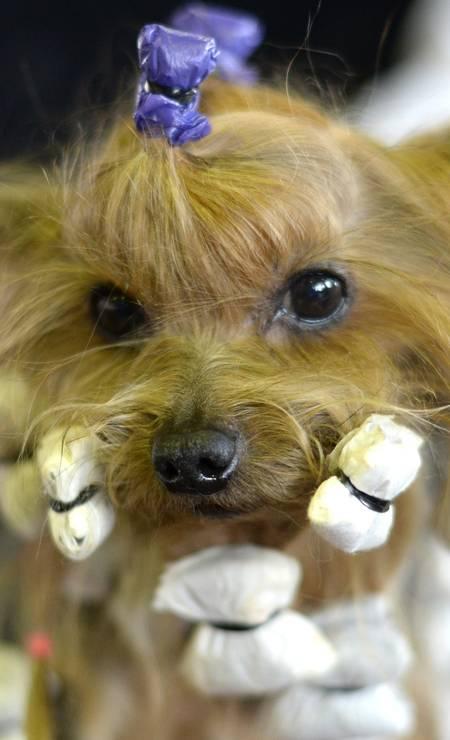 Para não sair do lugar antes da hora, vários rolinhos ajudam a manter o penteado da Yorkshire Terrier TIMOTHY CLARY / AFP