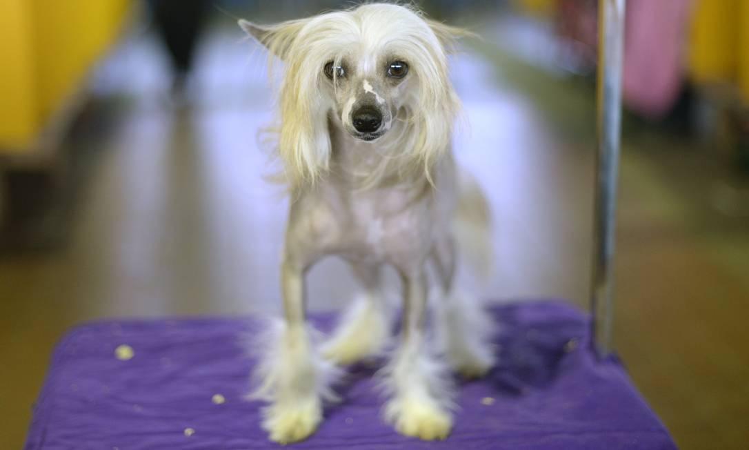 Corpo pelado e patinhas felpudas: o estilo do corte deste cão de crista chinês TIMOTHY CLARY / AFP